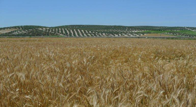Plantación De Tritordeum En Andalucía